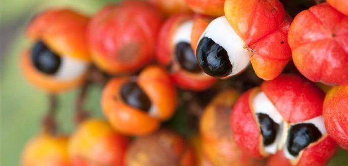 Guarana owoc