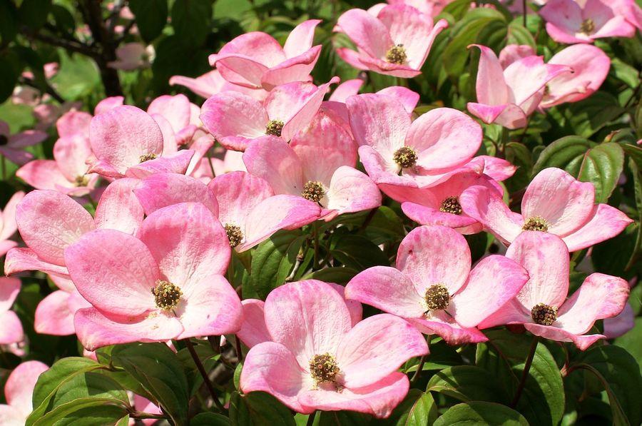 Kwiaty dereń